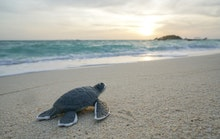 Volunteering Abroad Costa Rica Sea Turtle as Mother Father and Son Group
